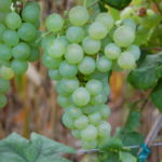 Photo d'une grappe de Chasselas blanc