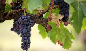 Pépinières viticoles